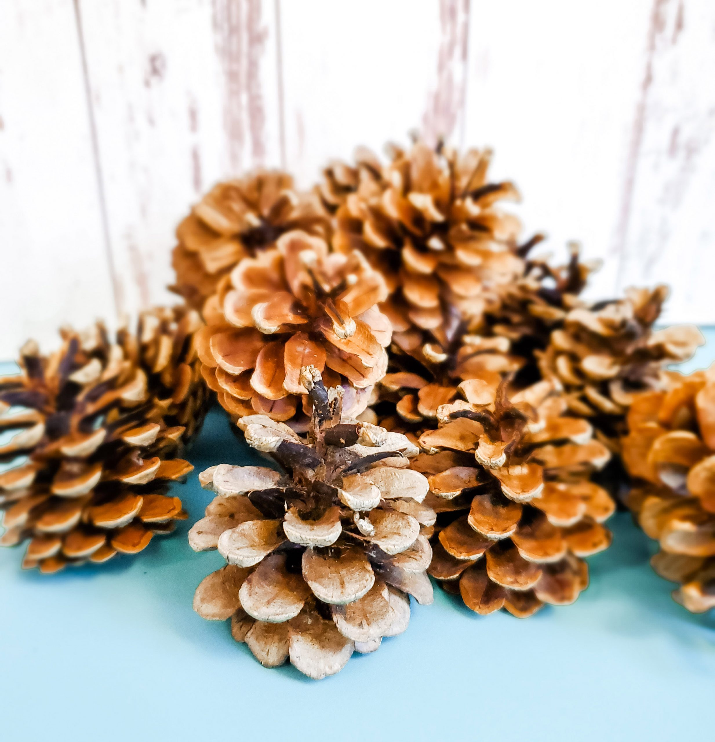 real pine cones